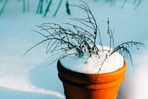 krukke med død plante i vinterkulde