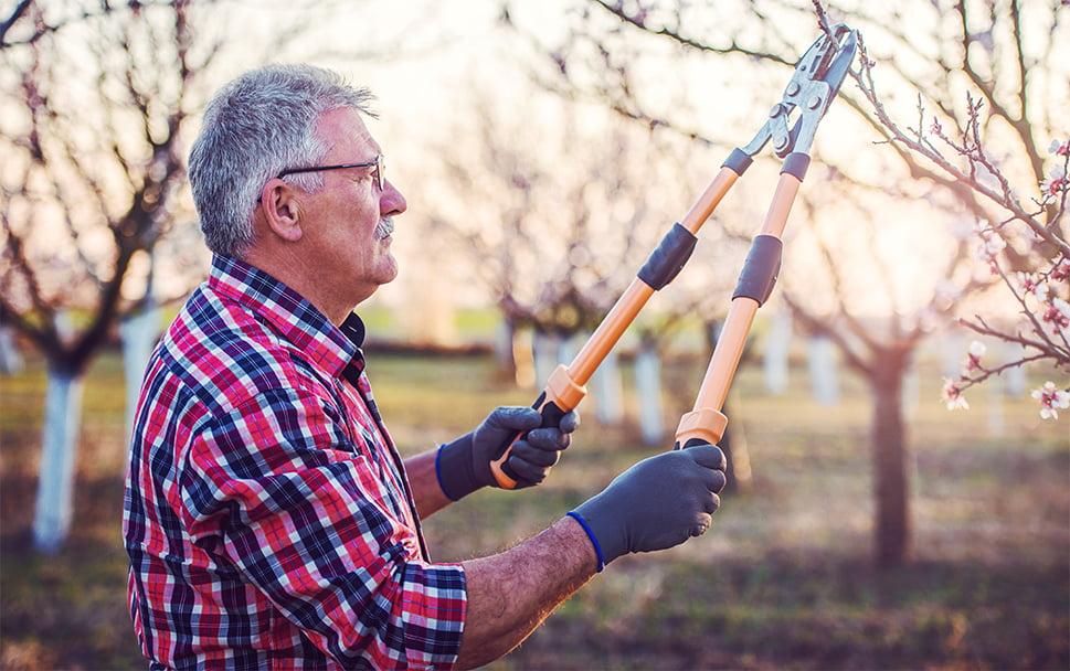 Senior mand beskærer frugttræer