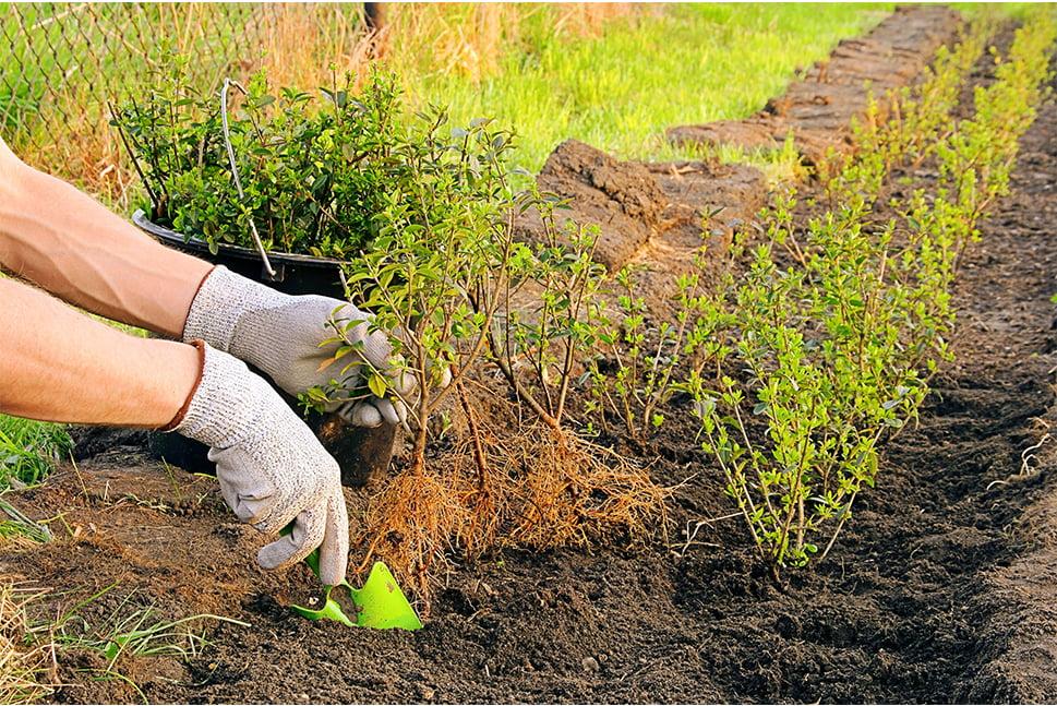 Person planter hækplanter i lige linje
